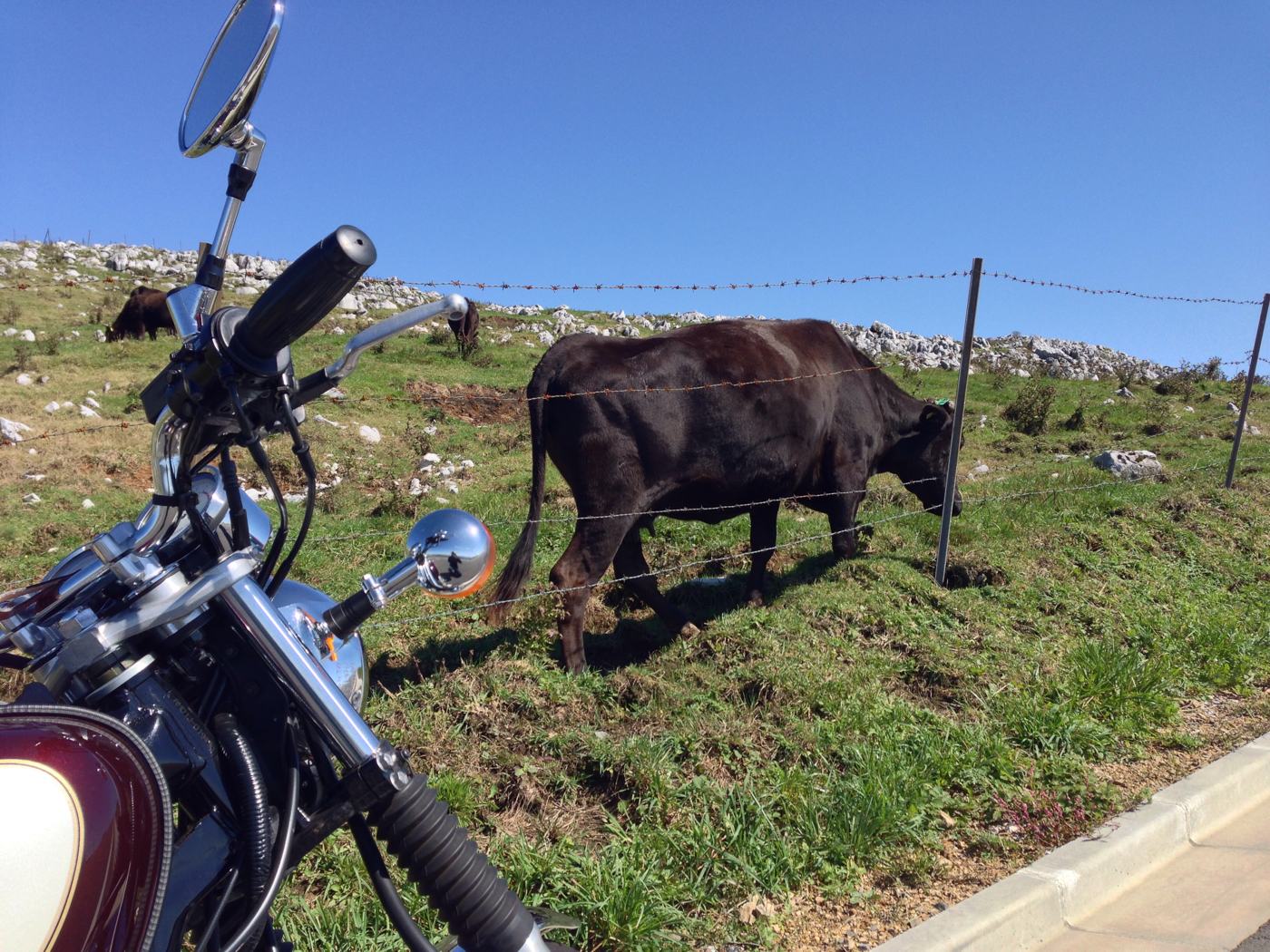 バイクと牛の写真