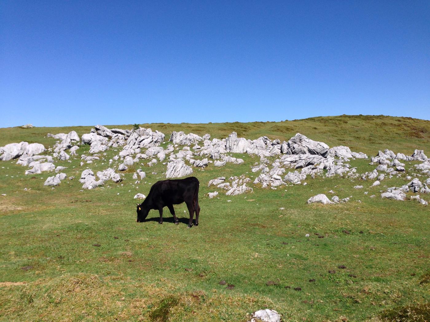 牛と四国カルストの写真の写真