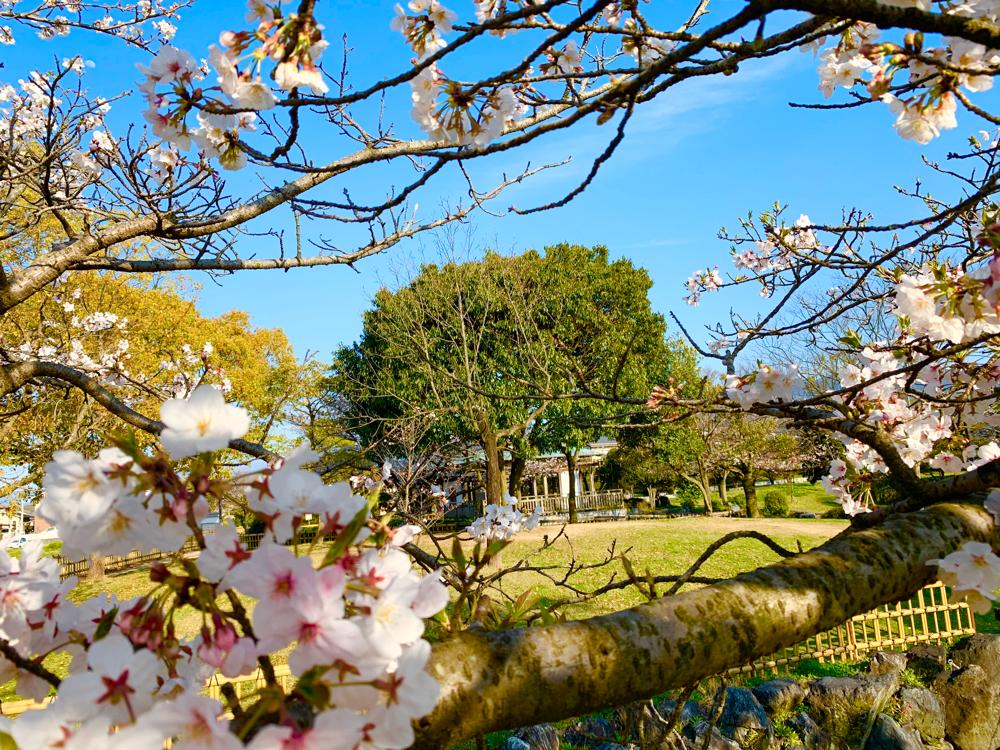 杖ノ淵公園の桜