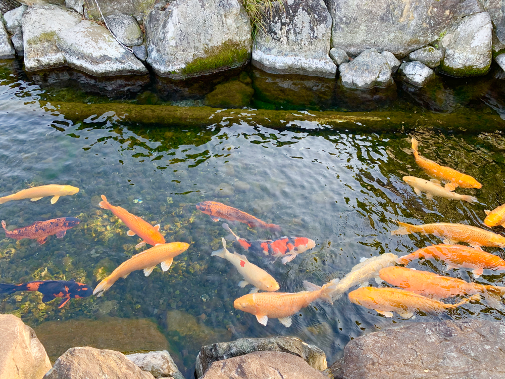 杖ノ淵公園の堀の鯉
