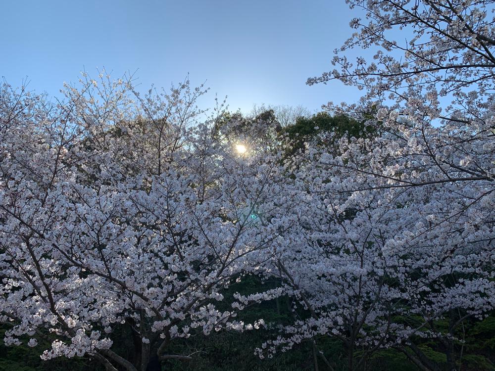 坊ちゃん夢ランドの桜